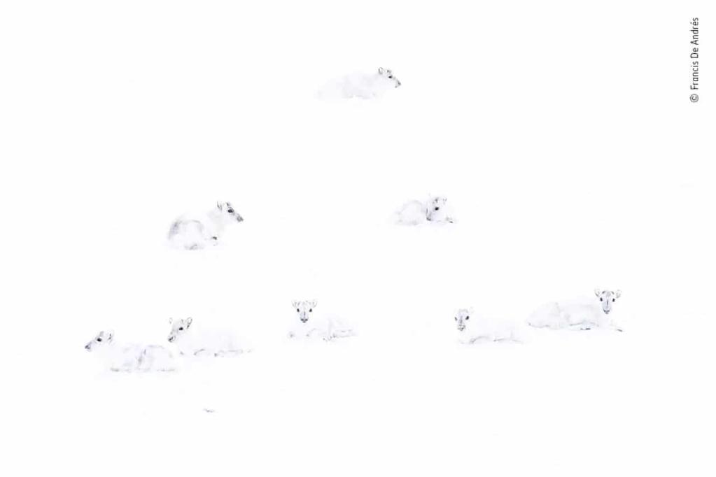 Na slici je sedam životinja, ali teško je razlikovati vrste jer su sve vrlo bijele i nalaze se u potpuno bijelom snježnom okruženju.