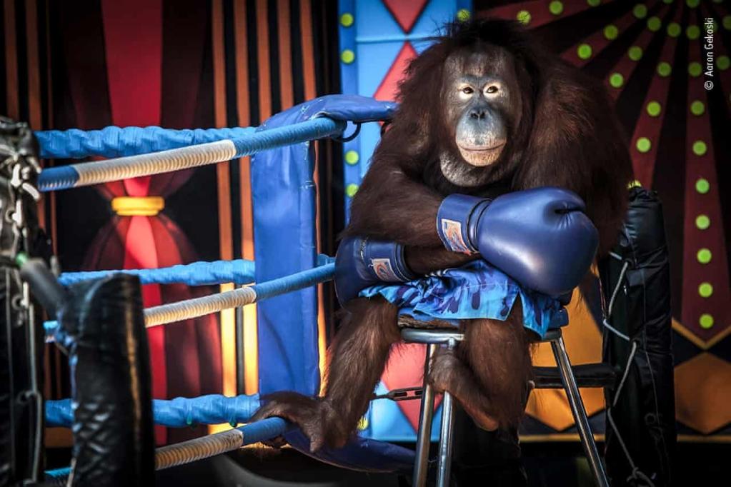 Na slici orangutan izgleda ozbiljno i sjedi na maloj klupi pored užadi prstena.